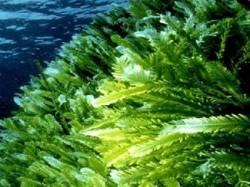 Значение водорослей для организма человека.